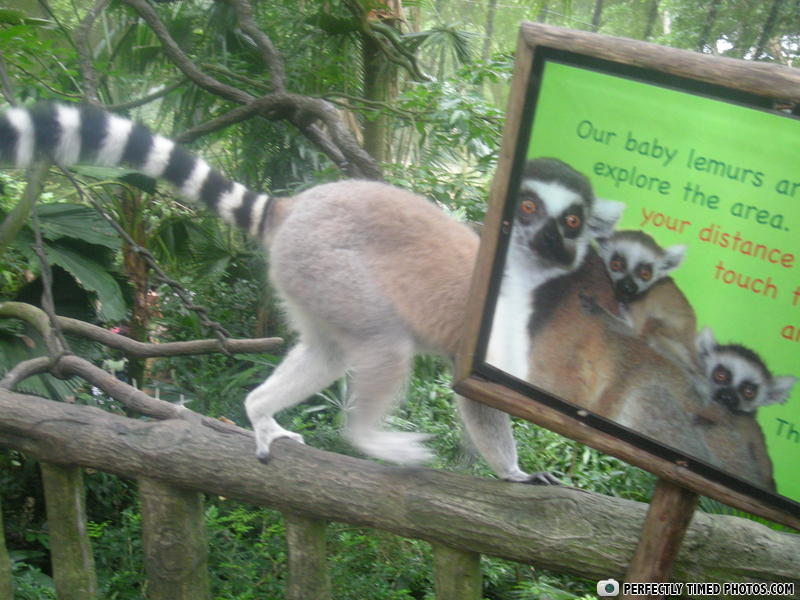 - Our baby lemurs ar...explore the are. your distanc